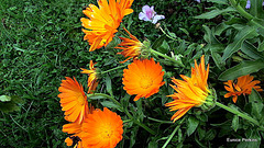 Orange Marigolds.