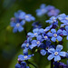 Forget-me-nots.....
