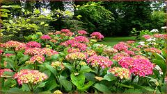 Les hortensias du Parc Floral ...