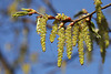 Blütenkätzchen der Hopfenbuche