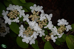 341/366: Lovely White Blossoms with Inner Florets
