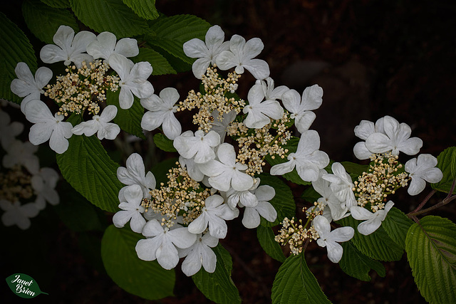 343/366: Viburnum--Lovely White Blossoms with Inner Florets