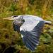 A heron at Burton Wetlands.3jpg