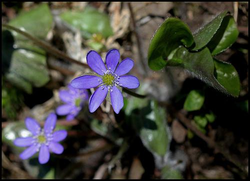 Hepatica nobilis (3)