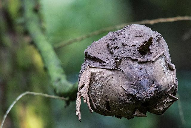 20151010 9268VRTw [D~H] Riesen-Bovist (Langermannia gigantea) Fruchtkörper 15-50cm, Wisentgehege, Springe-Deister