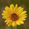 Maximilan's sunflower