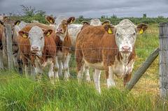 The Herd   /   June 2020