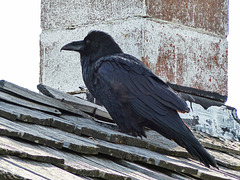 Common Raven keeping watch