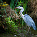 A heron at Burton Wetlands7
