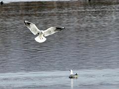 Landungsanflug einer Möwe