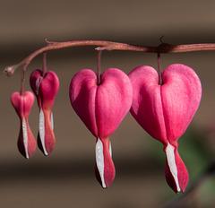 Bleeding heart close-up