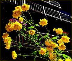 Sauze d'Oulx : fiori tra le case del centro storico - (707)