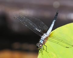 Sunbathing dragonfly...