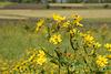 Yellow Flowers of Ethiopian Meadows