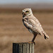 Burrowing Owl, ENDANGERED - from the archives