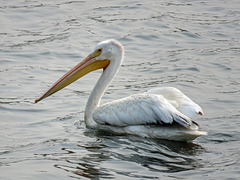 American White Pelican on a city pond