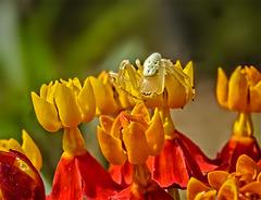 P1070528dcL Camouflage. A spider ~~ Une araignée