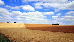 champ de blé dans le Poitou