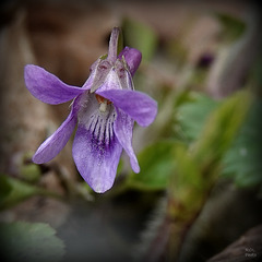 Une petite violette des bois... que je ne connais pas..!