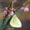 Pieris rapae on Toadflax