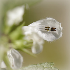 Lamier blanc