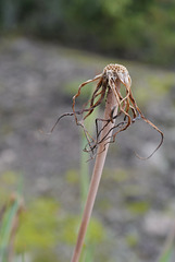 Tragopogon dubius, Canada