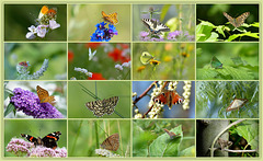 All my Butterflies till now in three Collages.., 1