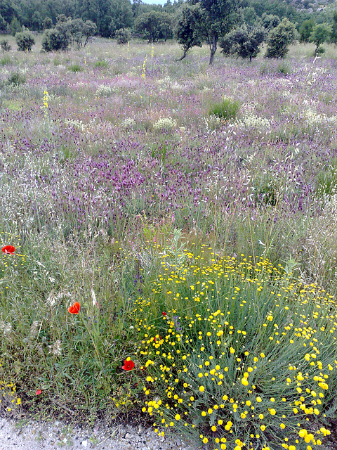 La Cabrera, Cantueso - wild flower meadow. Z and full screen, please!