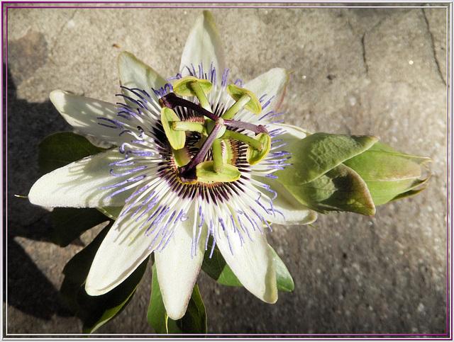Blaue Passionsblume (Passiflora caerulea) ©UdoSm