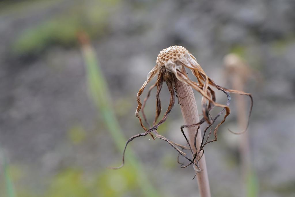 Tragopogon dubius, Canada L1010158