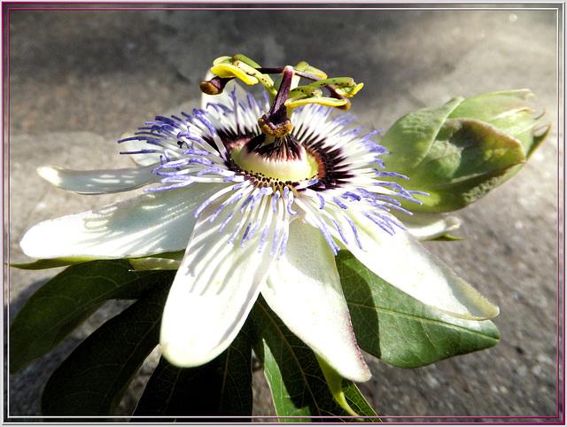 Passiflora caerulea ©UdoSm