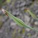 Tragopogon dubius, Canada L1010157