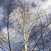 Silver Birch sky and clouds