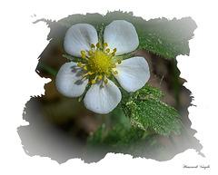 Walderdbeerenblüte