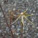 Tragopogon dubius, Canada L1010152