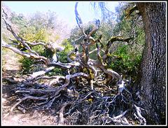 Danza de raíces 1