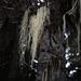 Tillandsia usneoides, Canada L1010142