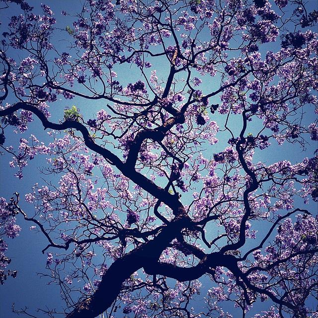 Jacaranda blooming.