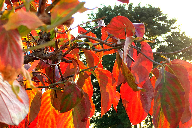 Red leaves of dogwood