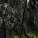 Tillandsia usneoides, Canada L1010141