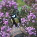 Bird of the day: Great Tit