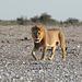 Namibia, Etosha National Park, Lion Approaching Watering Hole