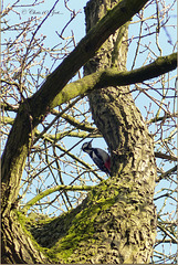 Finally I found my Woodpecker high in the tree... ;)