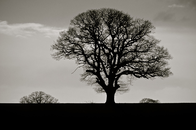 Lone tree near Bishops Wood