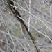 Tillandsia usneoides, Canada L1010137