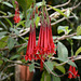 Azores, Island of San Miguel, Red Flowers in the Park of Terra Nostra