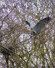 Grey heron was making his new Nest...