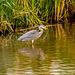 A heron.24jpg