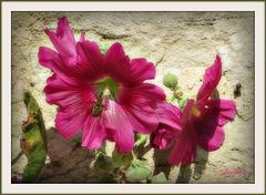 « La fleur est courte, mais la joie qu'elle a donnée une minute N'est pas de ces choses qui ont commencement ou fin »