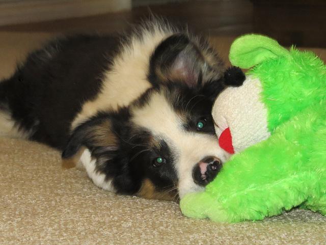 Meet Chip @ 11 weeks old